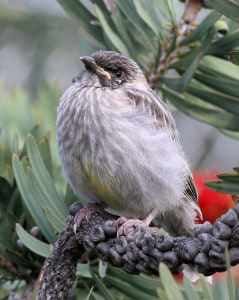Red Wattlebird Fledgling