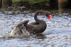 Black Swan Taking a Bath