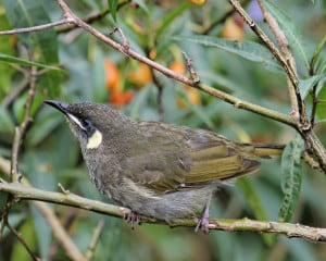 Lewin's Honeyeater Foraging