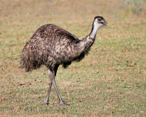 Common Emu