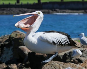 Australian Pelican at the Filleting Table