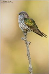 Shining Bronze Cuckoo (Chrysococcyx lucidus)