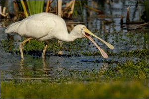 Yellow-billed Spoonbill (Platalea flavipes)