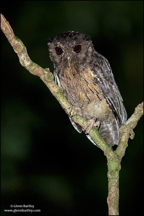 Northern Tawny-bellied Screech Owl