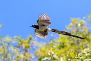 Black-throated Magpie-jay in Flight