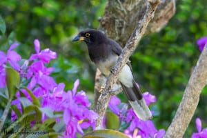 Brown Jay in Orchids