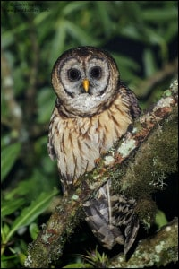 Fulvous Owl (Strix fulvescens)