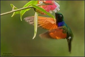 Garnet-throated Hummingbird (Lamprolaima rhami)