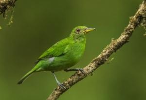 Green Honeycreeper