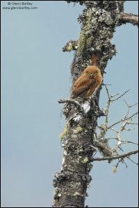 Guatemalan Pygmy-Owl (Glaucidium gnoma cobanense)