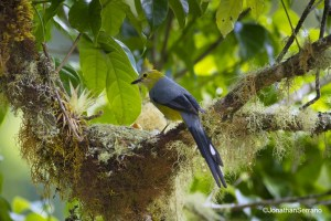 Long-tailed Silky Flycatcher