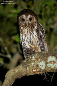 Mottled Owl (Strix virgata)