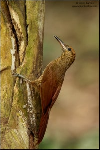 Northern Barred Woodcreeper (Dendrocolaptes sanctithomae)