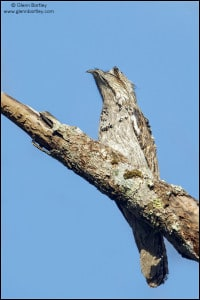 Northern Potoo (Nyctibius jamaicensis)