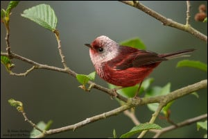 Pink-headed Warbler (Cardellina versicolor)