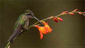 Magnificent Hummingbird - Costa Rica