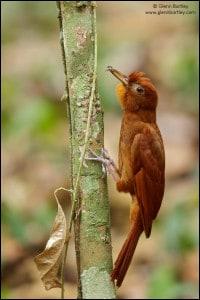 Ruddy Woodcreeper (Dendrocincla homochroa)