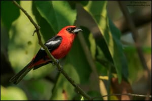 White-winged Tanager (Piranga leucoptera)