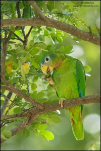 Yellow-billed Parrot (Amazona collaria)
