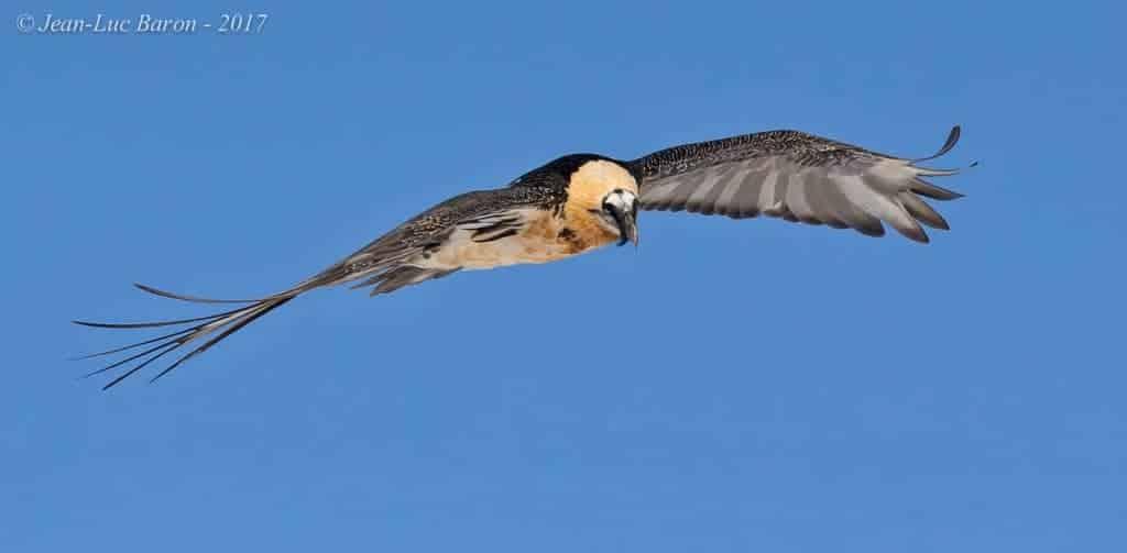 NT Bearded Vulture Gypaetus Barbatus