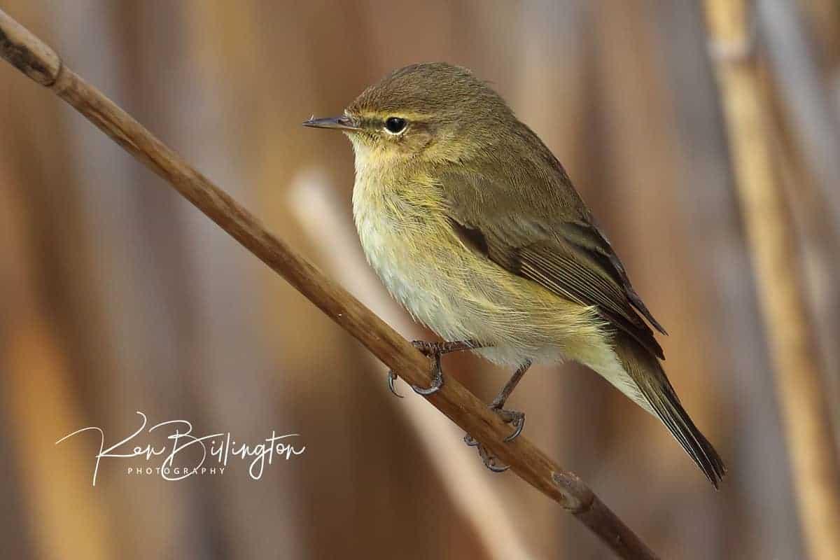 Small Landbirds