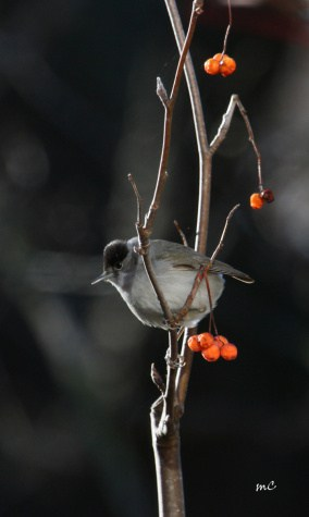 Eurasian Blackcap (Sylvia Atricapilla)