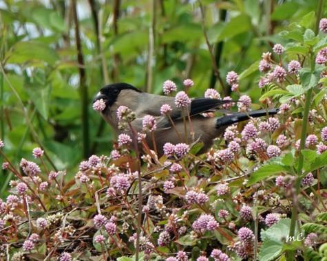 Endemic Azores Bullfinch (Pyrrhula Murina)