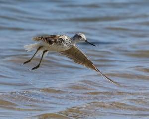 Common Greenshank Taking Flight