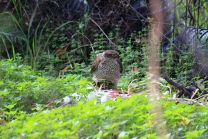 A Young Female Sparrowhawk (Accipiter Nisus)