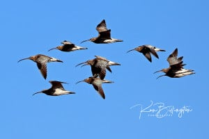 10 Curlews in Flight