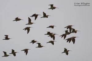 Curlews in Flight