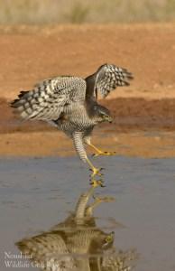 Skating Sparrowhawk!