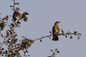 Fieldfare Turdus pilaris on Hawthorn