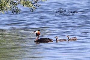 Happy Family - Great Crested Grebes