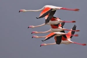 Neck and Neck at the Greater Flamingo Race