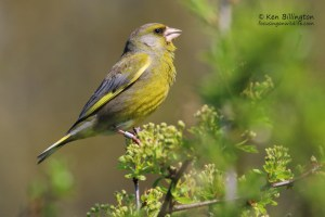 European Greenfinch, Chloris Chloris
