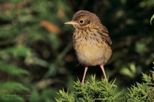 Juvenile Meadow Pipit, Anthus Pratensis