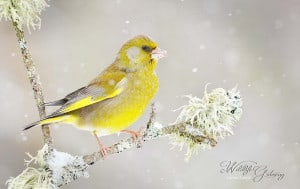 Greenfinch Resisting Winter
