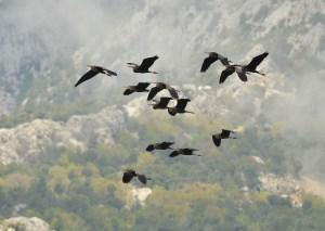 Purple Herons taking off !