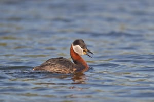 Red-necked Grebe Male in Summer Plumage