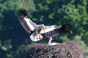 Soft Landing - White Storks