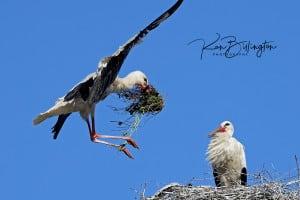 Peace Offering - White Storks