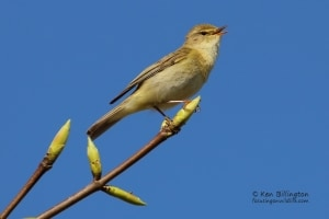 Willow Warbler, Phylloscopus Trochilus