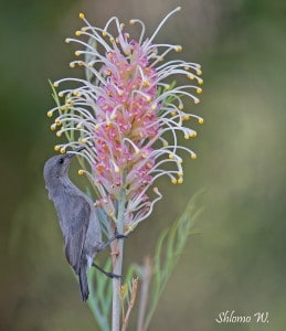 Sunbird with Grevillea