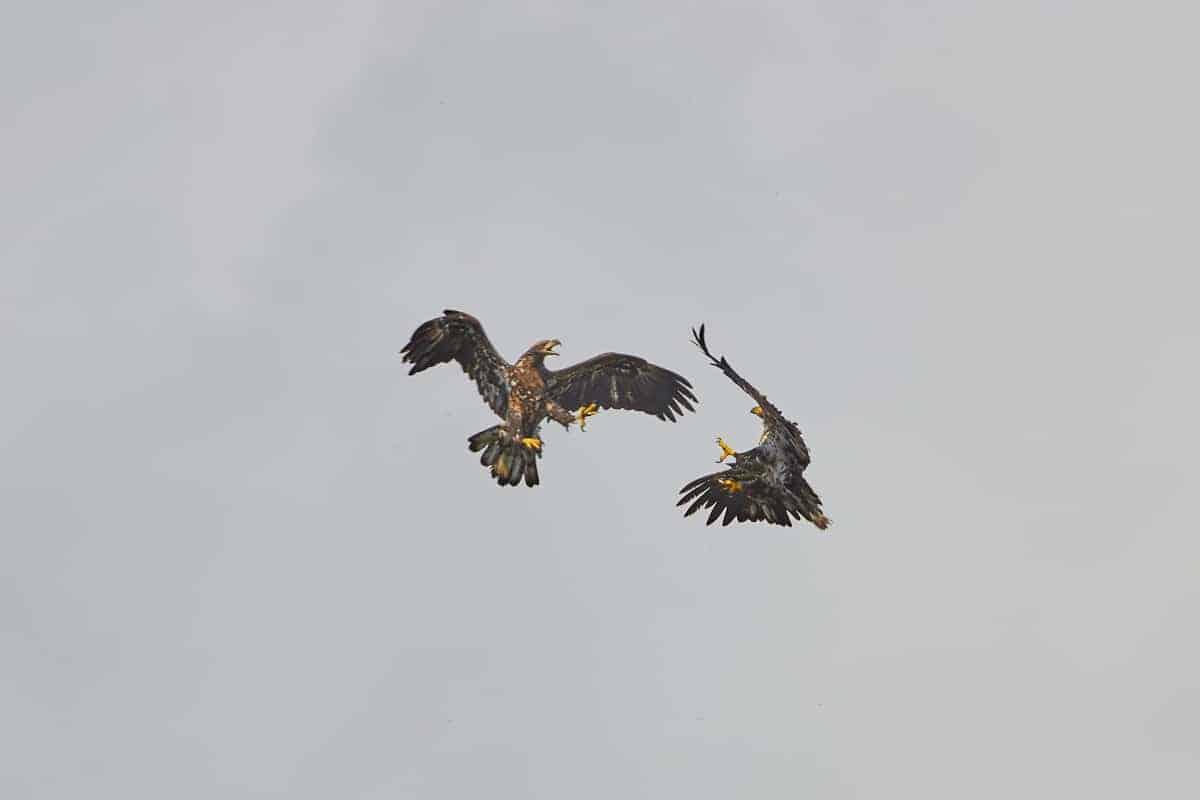 Tussling Juvenile Eagles