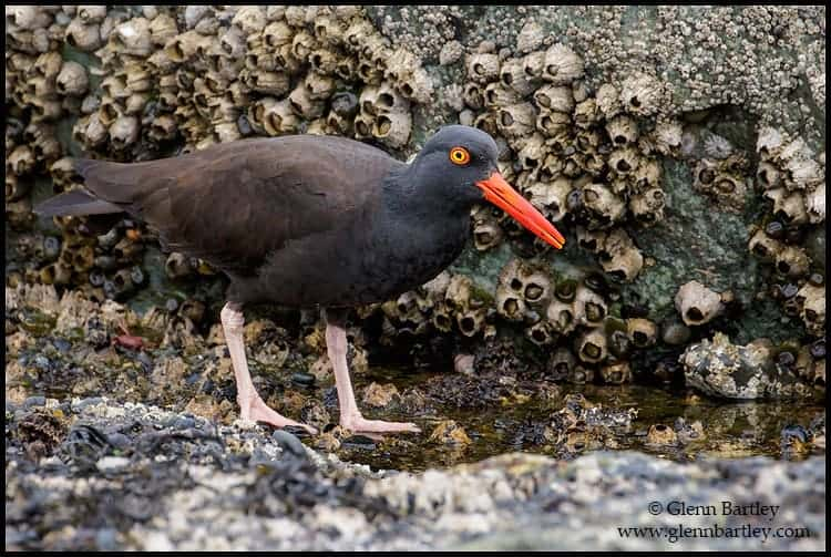 black-oystercatcher