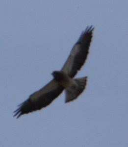 Male Swainson Hawk