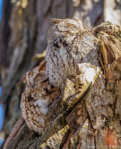 Screech owl couple