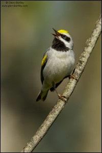 Golden-winged Warbler (Vermivora chrysoptera)