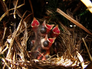 Hungry Song Sparrow Chicks